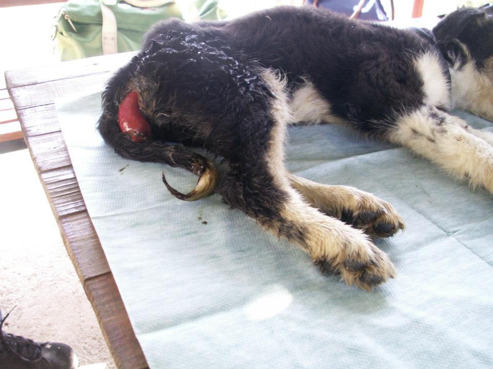 Treatment of canine prolapsed anus