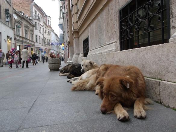 The strays of Sarajevo....